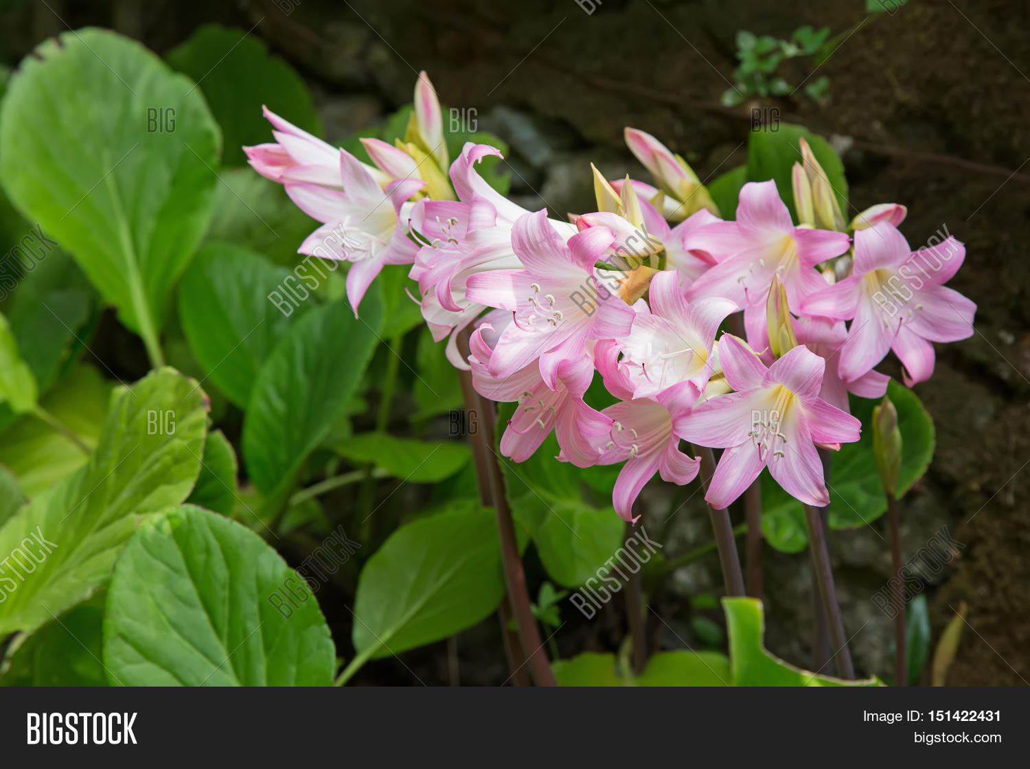 Pale pink white flower image photo free trial bigstock pale pink and white flower of belladonna lily also called jersey lily naked lady mightylinksfo
