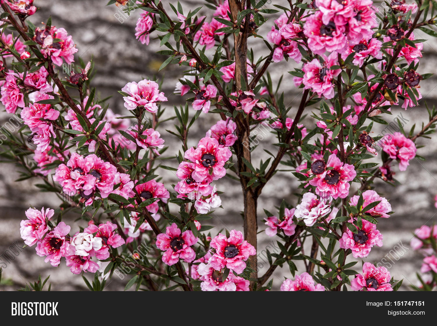 Tiny pink flowers image photo free trial bigstock tiny pink flowers of the australian tea bush mightylinksfo
