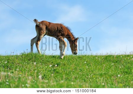Little Cute Colt Walk