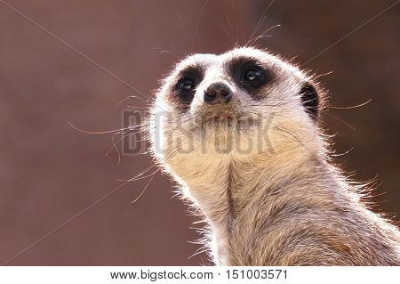 Meerkat on sentry duty at the zoo. Animal. Wild.