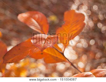 Close up of orange aronia leaves in autumn season.