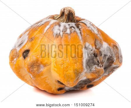 one spoiled bush pattypan with mold isolated on white background