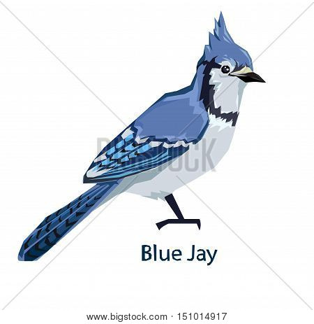 Blue Jay bird Vector Illustration, bird vector