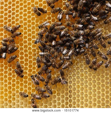 honey comb and a bee workin