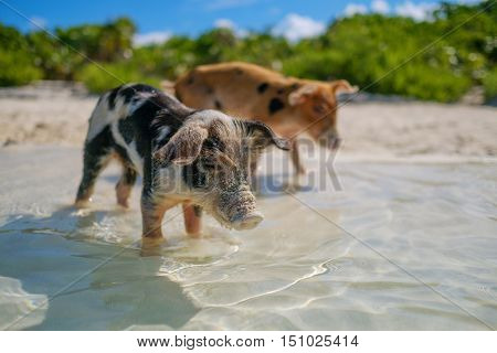 Wild, swimming piglets on Big Majors Cay in The Bahamas.