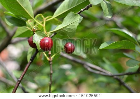 Ripe fruit of cherry on a tree branch in springtime