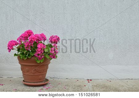 Pot of pink geranium in blossom in front of white wall