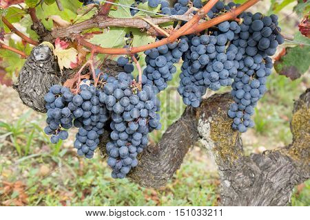 Red Grapes In The Vineyard Agriculture, Bio Control