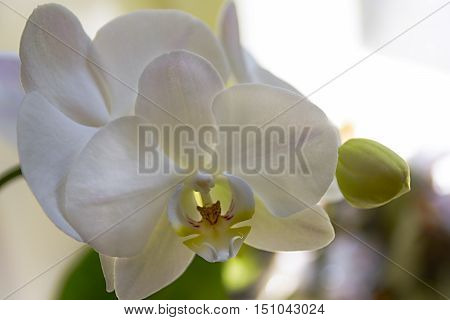 Branch of white orchids yet colorful with yellow culprit in a dreamy composition with lots of copy space