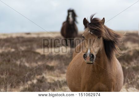 Pregnant white Welsh wild mountain pony in a field in spring.