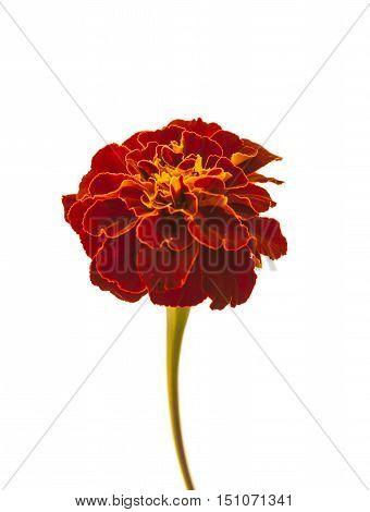 Marigold flower isolated on white background .