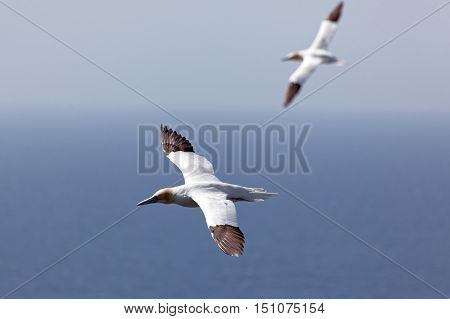 Northern gannet in flight over Atlantic ocean.