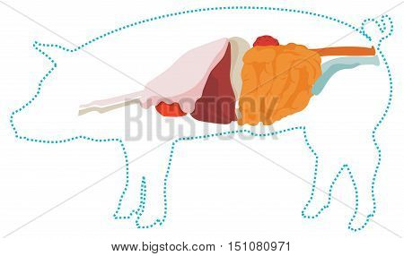 Vector pig anatomy. digestive system of the pig. incide view