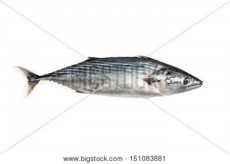Isolated Bonito on White Background, One Fish