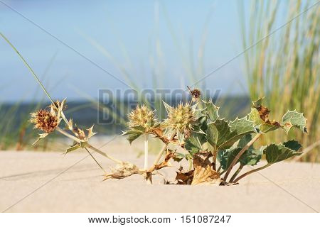 mikołajek nadmorski (Eryngium maritimum) na wybrzeżu morza bałtyckiego