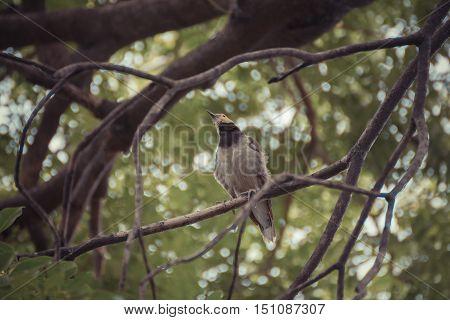 Bird (black-collared Starling, Sturnus Nigricollis) On A Tree