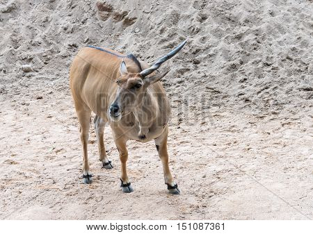 Young antelope with long horn in the open zoo.