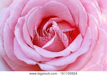 Background of blooming beautiful pink roses. Texture delicate petals and fragrant flower. The purity and freshness of nature.