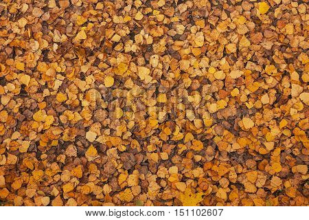 Leaves that have fallen from the trees in the forest with the onset of autumn