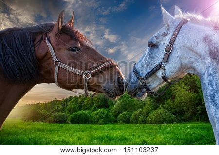 Two bay horses playing with each other in a green field at sunset