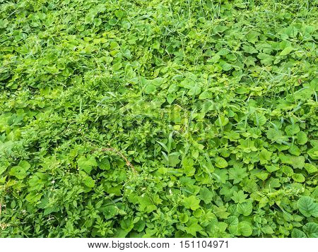 Field of fresh green grass texture as a background top view.
