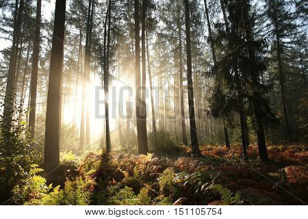 Coniferous forest at sunrise. October, Poland .
