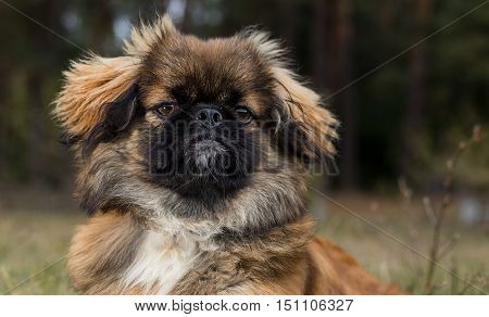 Pekingese. Dog obediently posing for a photograph. Portrait of a dog closeup on the forest background.