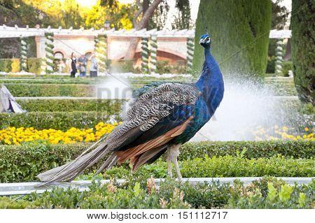 Peacock in public garden. Picture taken in Cecilio Rodriguez gardens Retiro Park Madrid Spain