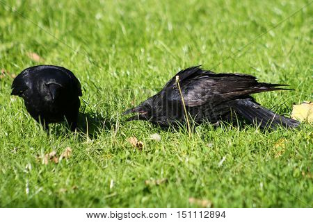 A young Carrion Crow begs for food from it's parent