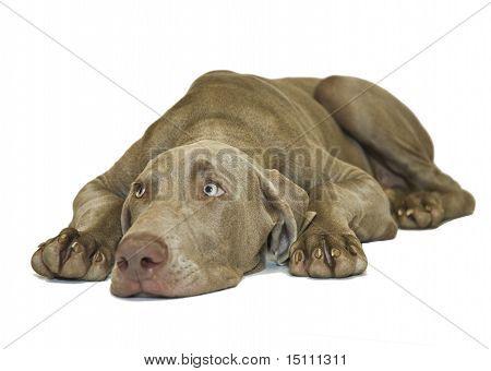 Weimeraner Dog Laying Flat