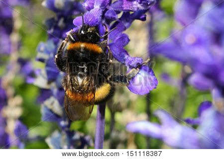 A Buff Tailed Bumblebee on a lavender flower