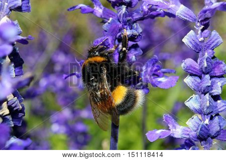 A Buff Tailed Bumblebee feeding from lavender