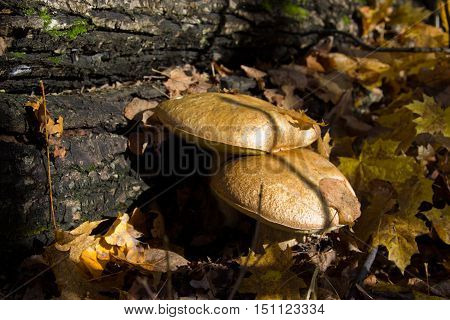 Boletus edulis or cep penny bun porcino or king bolete. Mushroom porcino or cep in it's natural habitat.