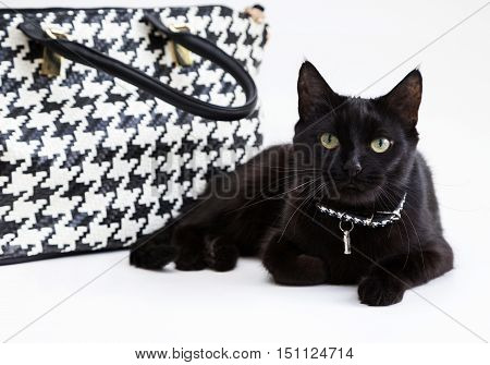Black fashion cat with a stylish collar near the trendy handbag on a white background