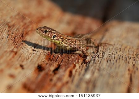Nimble lizard basking in the rotten stump