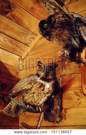 Real Stuffed Owl. Taxidermy Birds on wood wall