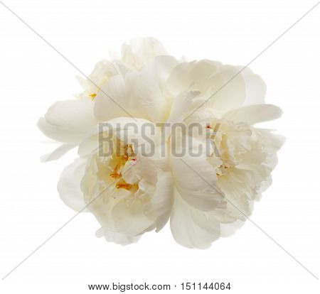 Three white peony flowers isolated on white background