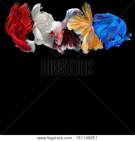 colorful Betta fish background with copy space isolated on black background