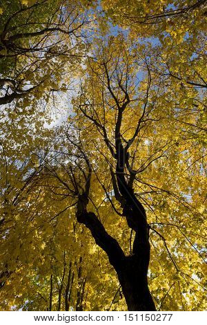 crown yellow and green autumn leaves of maple tree on blue sky background Russia