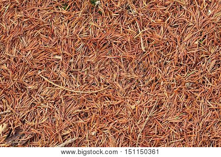 very are many needles on pine firs and / autumn carpet