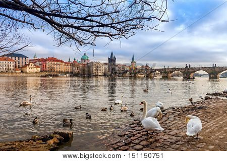 Swans and ducks on stone bank of Vltava river as Charles Bridge on background in Prague, Czech Republic.