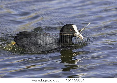 An adult coot (Fulica atra) collects reeds to build a nest.