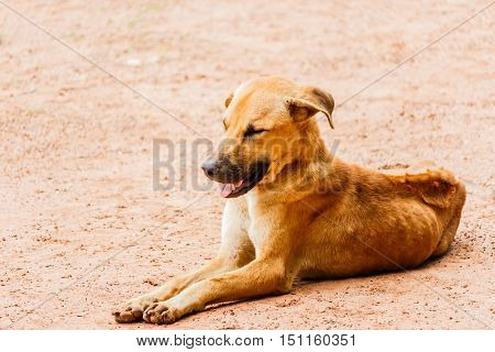 Brown Dog crouching on the walkway in farm