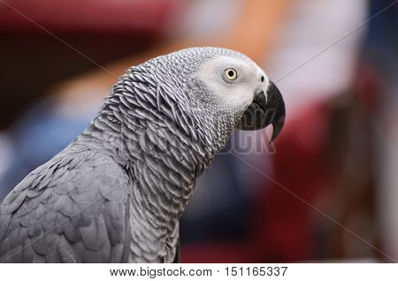 Portrait of an Congo African Grey Parrot (Psittacus erithacus erithacus)