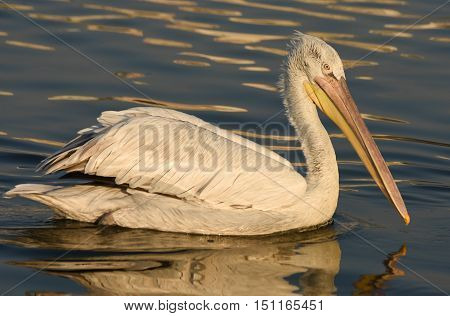 White Pelican swimming on sea, closeup, isolated.
