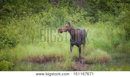 Cow Moose standing in a green forest.