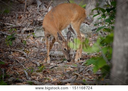 Brown cute doe in a wooded area.