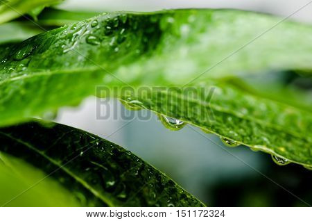 Water drops on green leafs summer season abstract