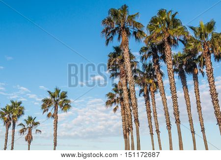 Two groups of palm trees with a background of blue sky and white clouds.