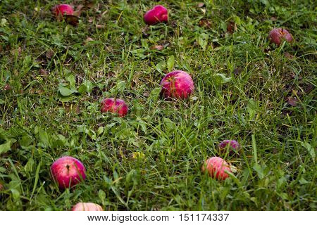 Apple tree and apples/Fallen apples on ground/grass